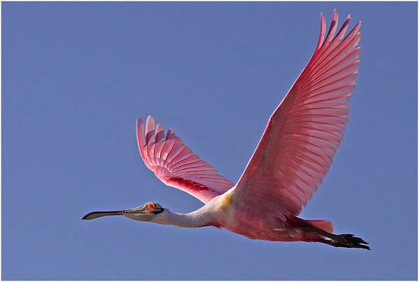 #10   Spoonbill in flight _3300
