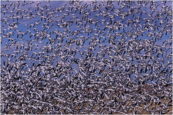 Flocks of Snow Geese